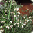 Colletia hystrix