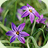 Ipheion uniflorum 'Froyle Mill'