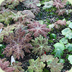 Podophyllum - mixed-